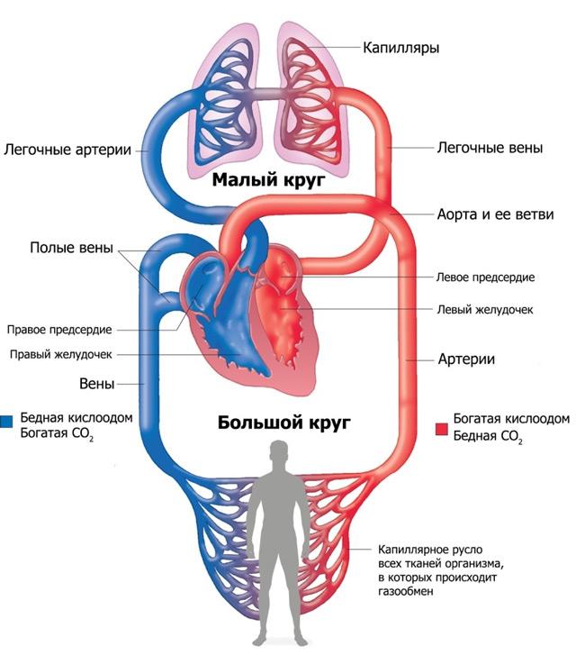 keringési ciklus a testben